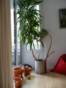 Riesige Yuccapalme