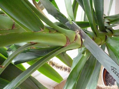 yucca teilen 15 Riesige Yucca Palme zerteilen   eine Anleitung