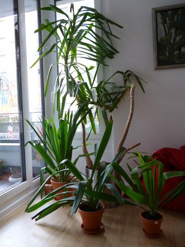Yuccapalme mit 3 Ablegern