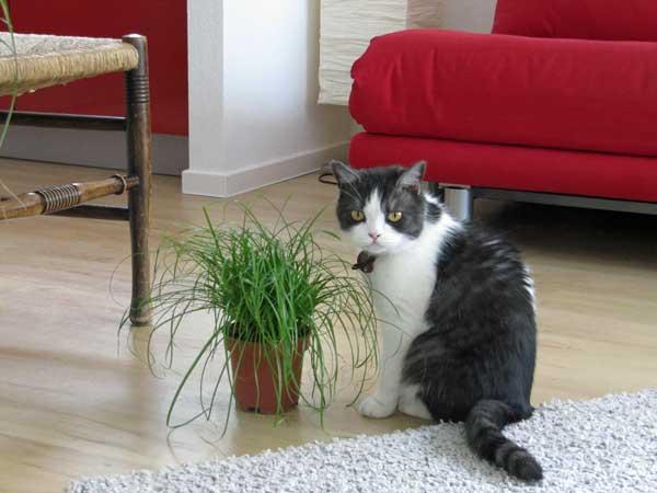 Katze-mit-Katzengras