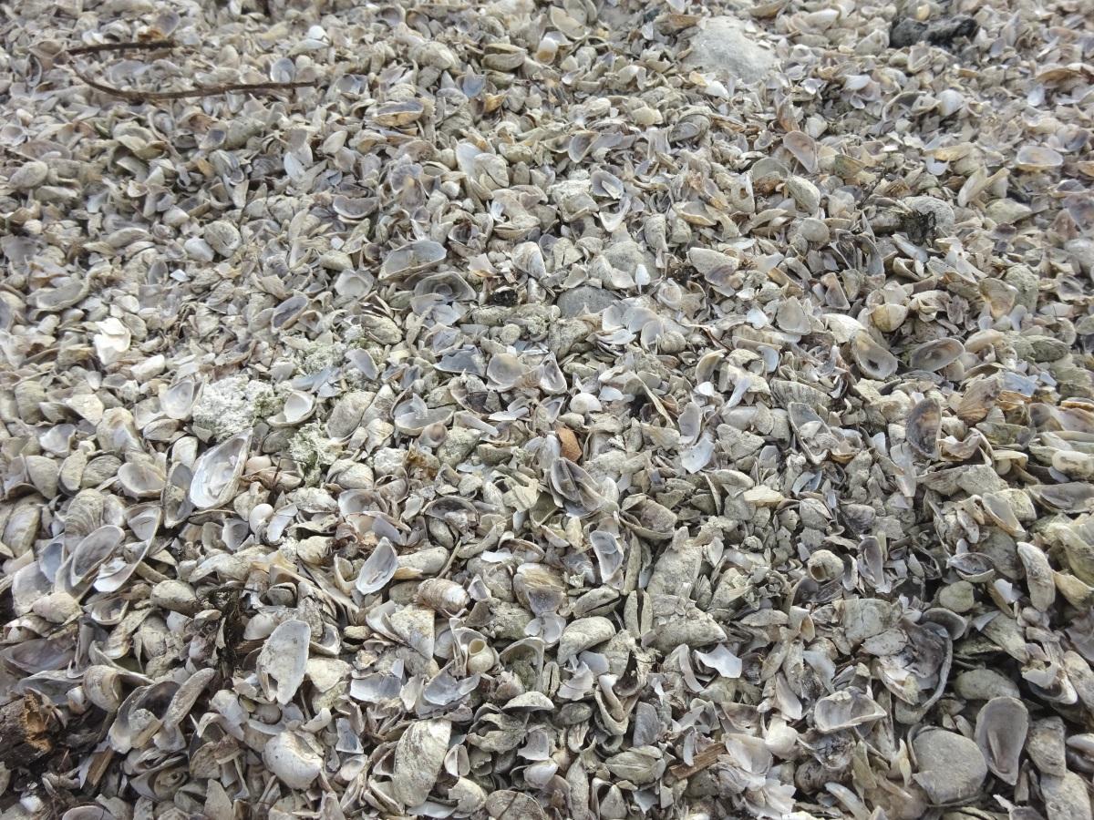 Muscheln am Bodensee