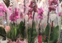 Orchideen zum Muttertag